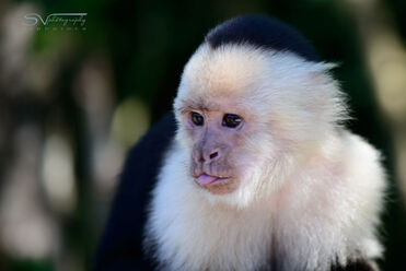 White-faced-monkey-with-tongue-out