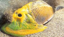 Cephalaspis2