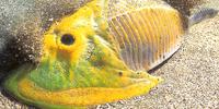 Cephalaspis