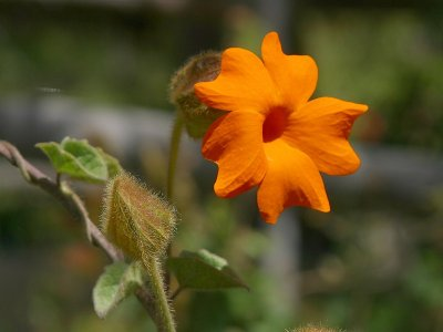 File:Orangeflower.jpg