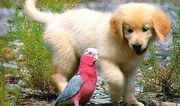 Napoleon Puppy