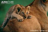 African-lion-cub-lying-on-females-back