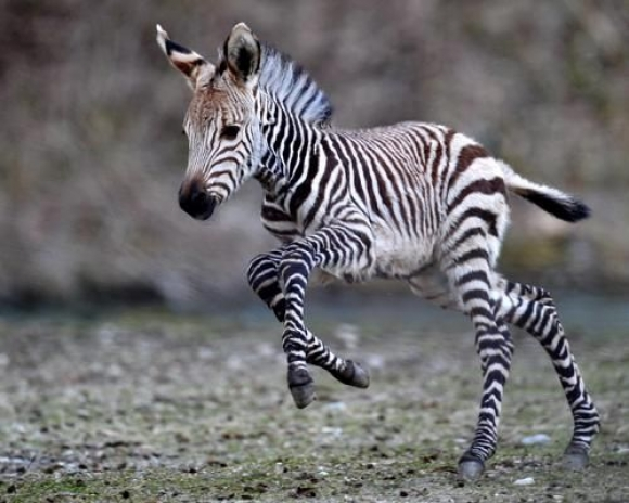 File:L-Baby-zebra.jpeg