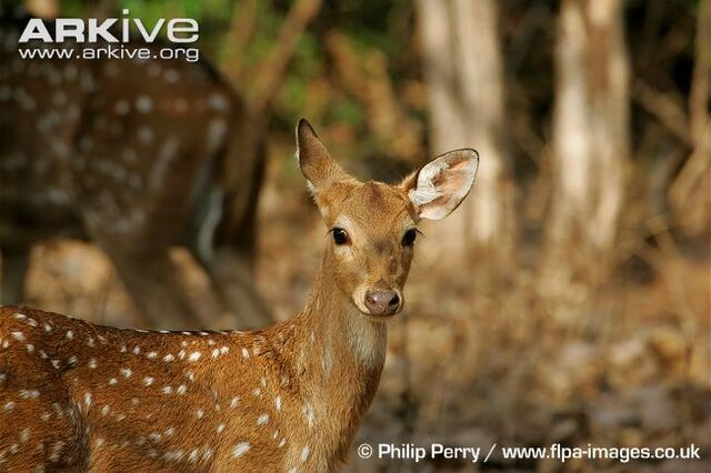 File:Alert-female-chital.jpg