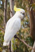Sulphur Crested Cockatoo Nov10