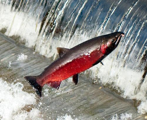 File:Spawning coho in issaquah creek.jpg