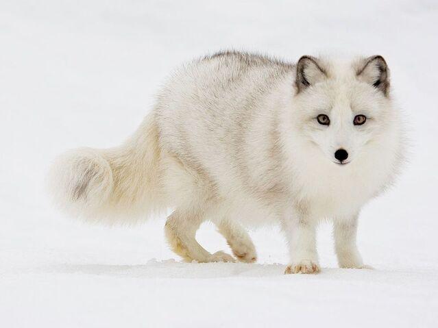 File:ArcticFox.jpg