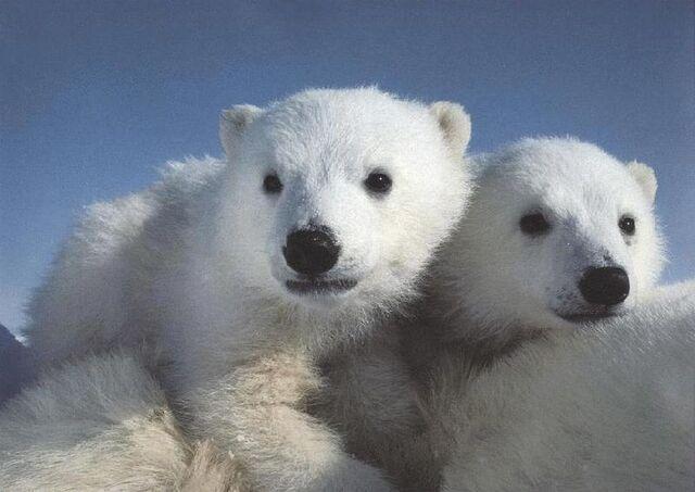 File:Polarbears2.jpg