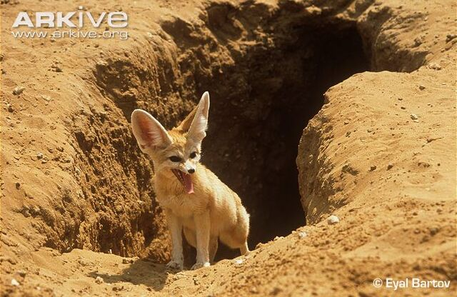 File:Fennec Burrow.jpg