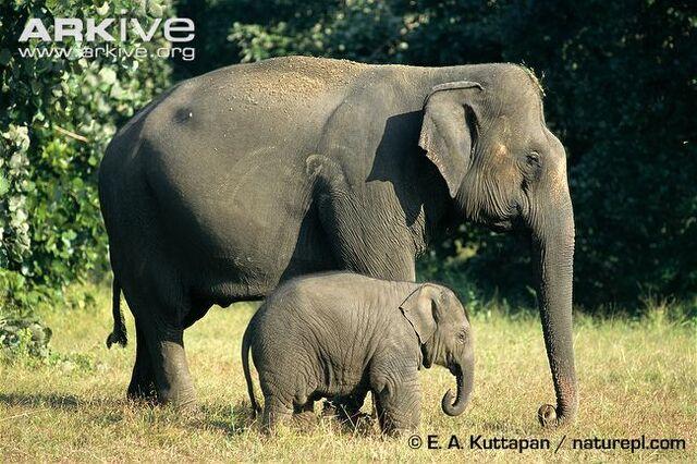 File:Indian Elephant.jpg