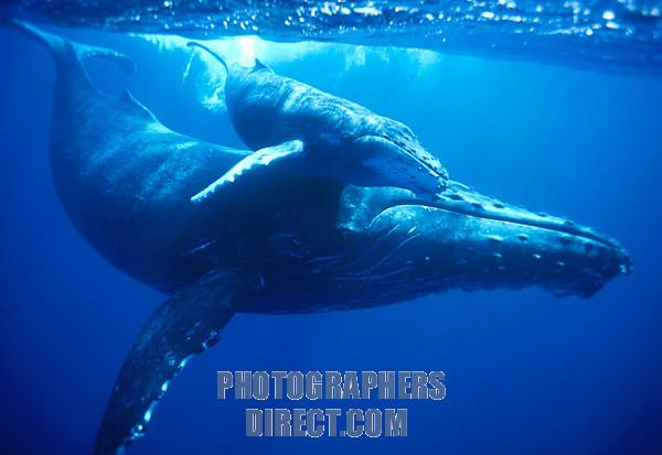 File:Humpback Whale.jpg
