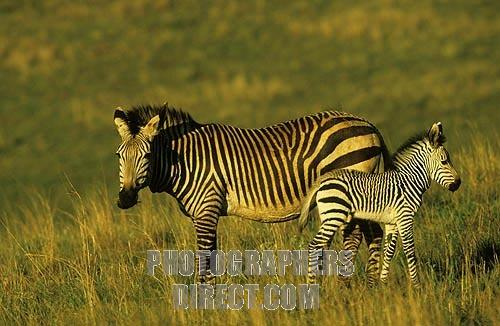 File:Mountain Zebra Foal.jpg