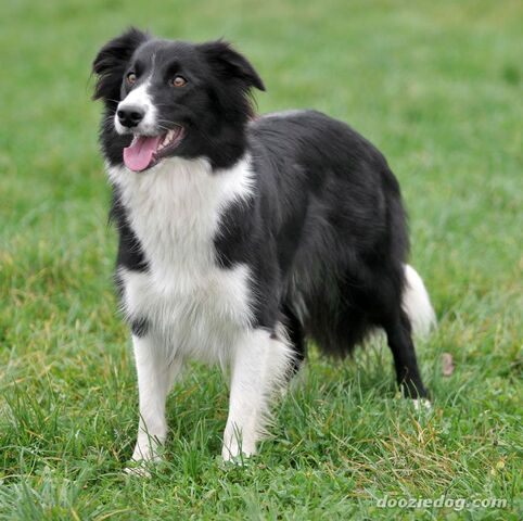 File:Border Collie.jpg