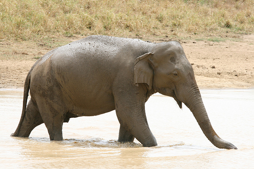 File:Sri Lankan Elephant.jpg