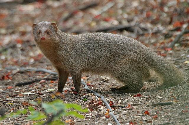 File:Mongoose.jpg
