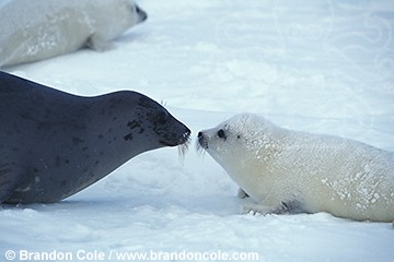 File:Harp Seal.jpg