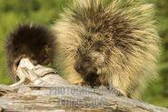 A porcupine kit
