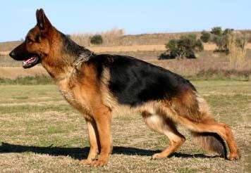 File:German Shepherd Dog.jpg
