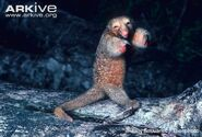 Defensive Silky Anteater