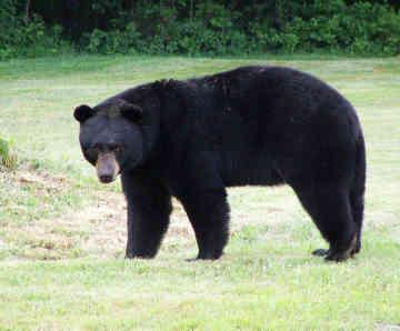 File:American Black Bear.jpg