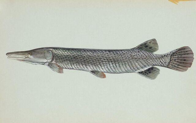 File:Alligator-gar-fish.jpg