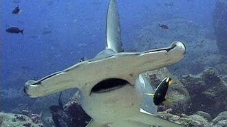 Jonathan Bird's Blue World Hammerhead Sharks