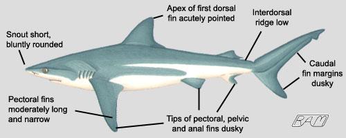 File:Bull Shark.jpg