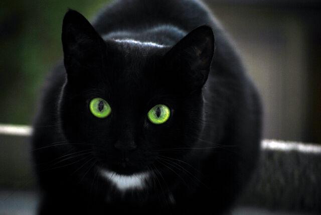 File:Black cat by mocore.jpg
