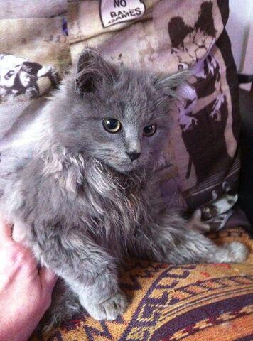 File:Stunning-blue-smoke-siberian-male-kitten-526684c34f603.jpg