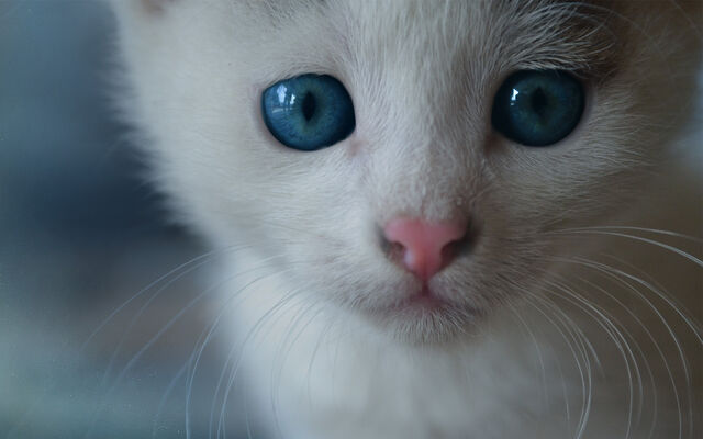 File:White kitten.jpg