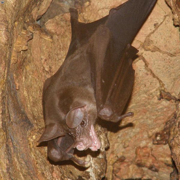 Vampyrum Spectrum | Silverwing Wiki | FANDOM powered by Wikia