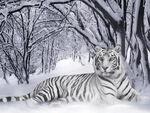 White Wassarian Highlander Tiger