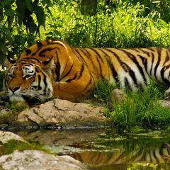 The Royal Tiger habitat reserve in Goianna