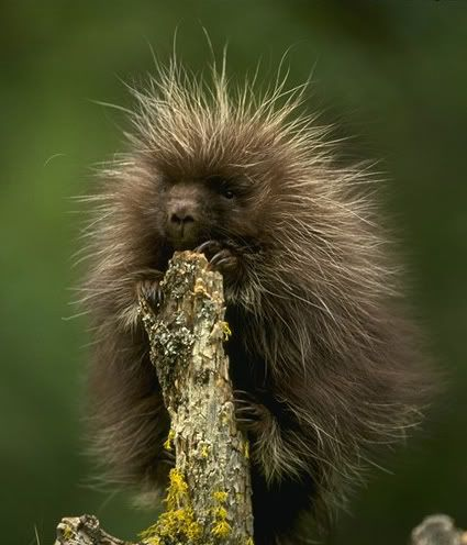 File:Porcupine.jpeg