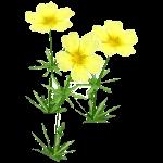 File:Wildflower Sulfur.png