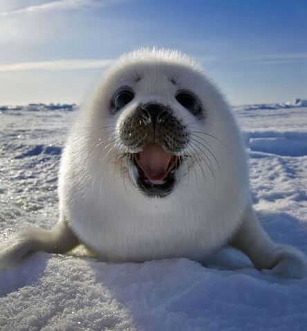 File:10-ridiculously-cute-baby-seal-pup-photos3.jpg.pagespeed.ce.9nO2C2vhZDPrSzLVe GN.jpg