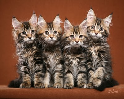 File:Maine-Coon-Kittens.jpg