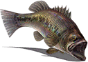 Fish-Valleria Bass