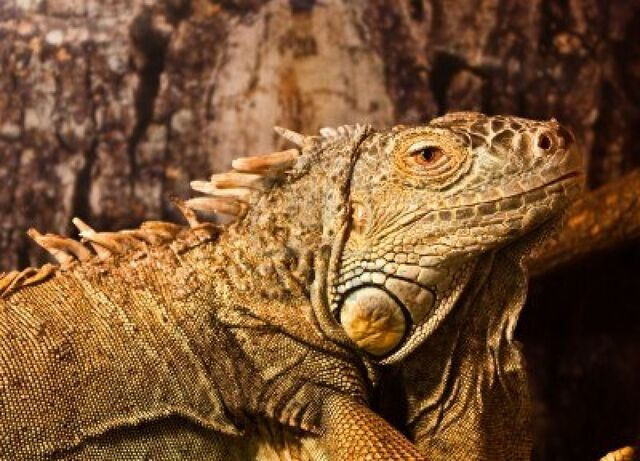 File:7947852-geen-iguana-complete-classification-iguana-iguana--reptilia--squamata--saura.jpg