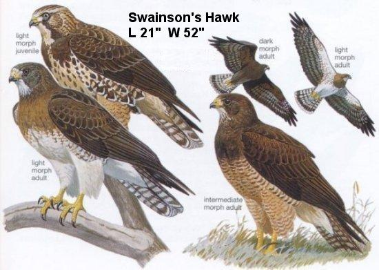 File:Birds-Hawk-Swainsons.jpg