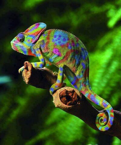 File:Veiled-chameleon-chamaeleo-calyptratus.jpg