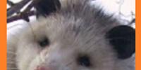 Opossum (Modsupial)