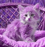 Kittens-Lilac