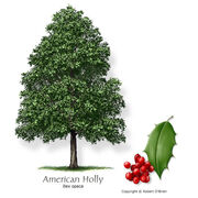 Holly american