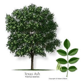 Ash texas