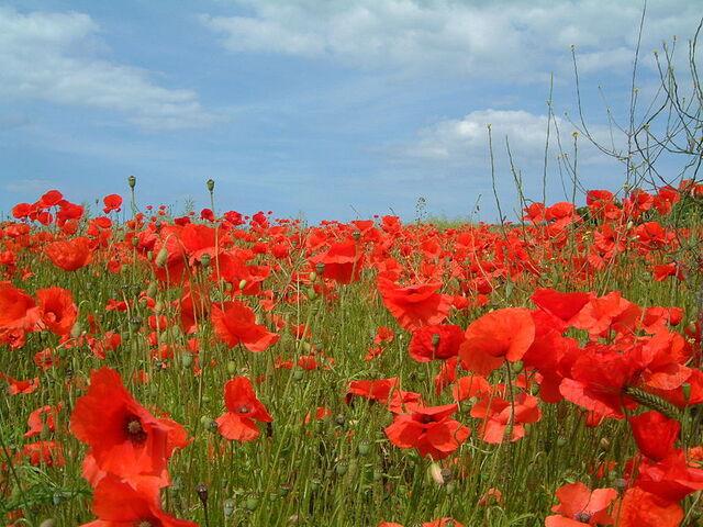 File:Poppies.jpg