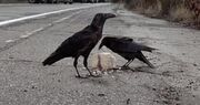 Crows soa