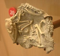 File:Leptictis cf. acutidens.jpg