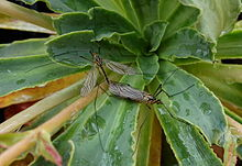 File:220px-Tipulidae crane fly mating.jpg