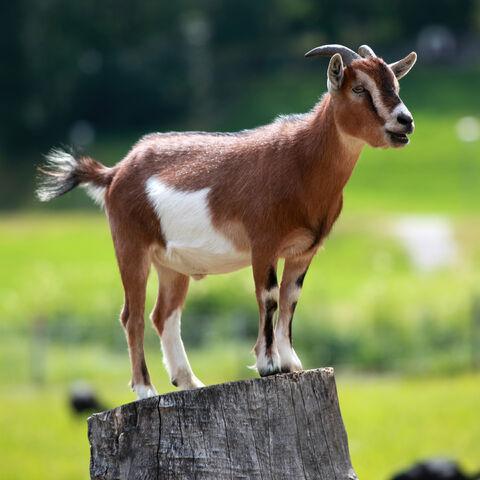 File:Domestic goat.jpg